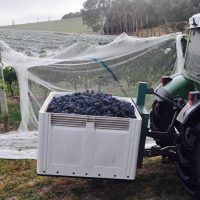 grape picking yarra valley SQUITCHY