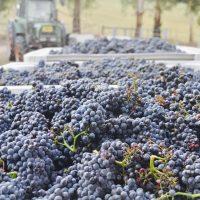 grape picking yarra valley
